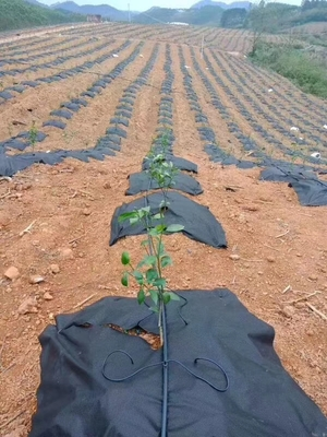 高分子材料防草布应用于广西柑橘园
