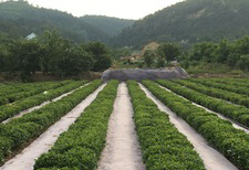 崂山茶园防草项目